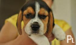 Beagle Puppies for SALE super cute!