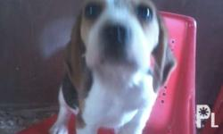 For rehoming Php9,000 Male beagle puppy Dob: july30