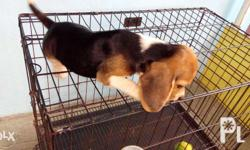 For Sale: Quality Beagle puppies (17RM) Sire (28 RM)