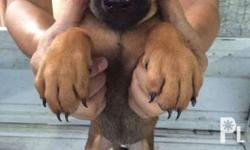 UPDATE Pictures!!! For sale Belgian Malinois x