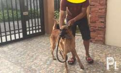 For sale: Belgian malinois (male) Php 10,000 1 year
