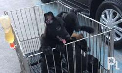 Belgian Malinois Puppy �15,000 2 months and 4 days