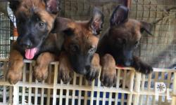 Purebreed Belgian Malinois puppies Playful and Healthy