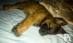 One female Belgian Tervuren pup Pick of the liter from