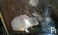 Big breed local Nz meat rabbits. 7 mos, 5.5 mos, and