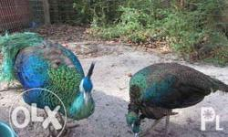 Selling peacocks and peahens Can sold as pair Price