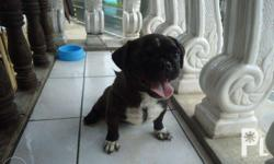 7mos old black male pug, complete vacine with 2x