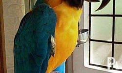 Hello , ..I have a Blue and Gold Macaw Parrot for sale