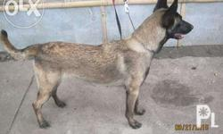 A 1 year old female blackmask belgian well-trained to