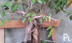 14. And 17 yrs old balete bonsai, for sale at 12k and