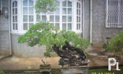 Bonsai available in various sizes  and designs.