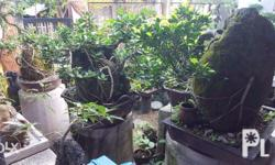 For sale Bonsai tree for your garden package price 150k