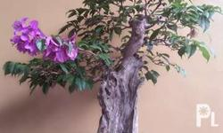 Bougainvillea Bonsai Tree for sale, pot included. Php