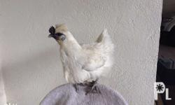 143 Farms: G.I.'s Produce Breed: Chinese Silkie Chicken