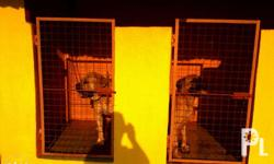 Adult Bullmastiff, male and female available 20t each