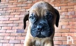 Our Mommy Bullmastiff gave birth to seven angels and