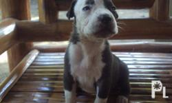 Deskripsiyon BULLY PITBULL PUPPIES FOR SALE