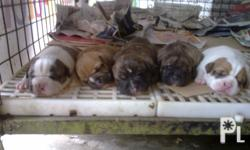 Bully Pitbull puppies for sale.... D.O.B.: March 01,