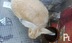 Ready to breed male rabbit open for swap of female