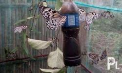 We are selling live butterflies for release. We also