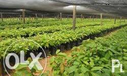 Cacao Seedlings starts at: - P5.00 each - Pencil sized