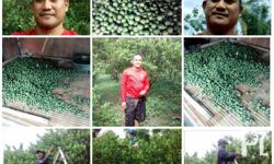 hello to all we have a calamansi farm in sa n fabian