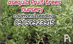 We are now selling calamansi seedling. We also deliver