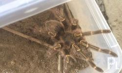 For Sale Rush Chaco Tarantula Probably Fem 4.5 Inches