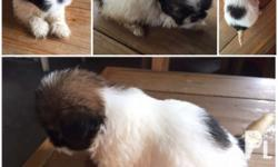 New batch of pure and quality shih tzu puppies for
