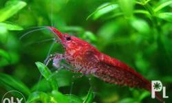 Red Cherry Shrimp make gorgeous and functional