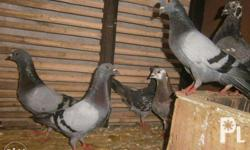 bantams chickens 250 for young and 300 for old.. and