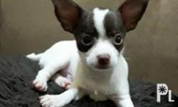 Pure breed chihuahua male White and choco Very playful