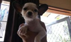 For sale Chihuahua male puppy. Very cute and playful
