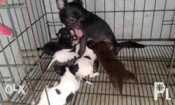Chihuahua Puppies 1 month old (for reservation) no PCCI