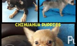 Chihuahua puppies 2 male available ( 1 black and tan ,