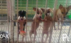 Cute FEMALE Chihuahua puppies for Sale at very