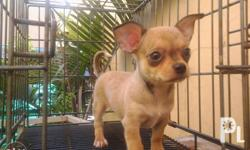 Male chihuahua puppy , 2 months and 2weks old.. short