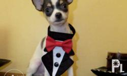 male chihuahua puppy white with black marking color