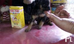2 month old purebreed chihuahua puppies, male(P7T),