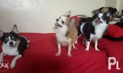 chihuahua stud service NOT FOR SALE *two times mating