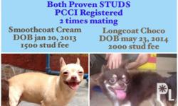 Chihuahua Stud Services Two (2) Chihuahuas to choose