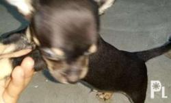 Ready for rehoming Chihuahua 3 months old With deworm