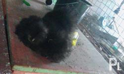 cute black silkie chickens,3 months of age,with