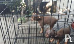 Pure breed choco color chiuaua 4 months old just