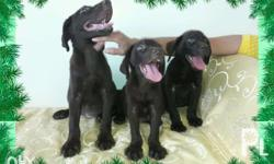 "( "", ) Pure Chocolate Labrador Puppies For Sale - 3"