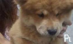 Chow Chow chowchow high quality chow puppies contact me