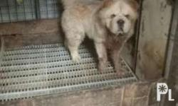 6 months old Cream female chowchow for sale not