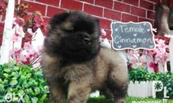 For Sale Chow Chow Female Cinnamon Color w/ Black mask
