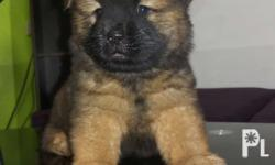 Chow chow purebreed PRICE: 12,000 Available Male -