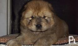Chow chow purebreed Available Male On going 2 months
